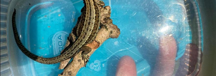 Lizard, Common Lizard, Ireland, Lacerta Vivipara, Irish Lizard